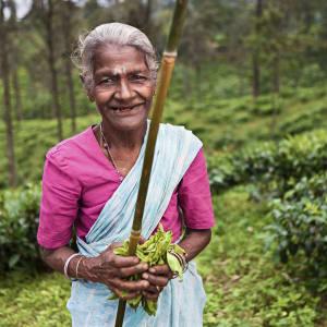 Les hauts lieux du Sri Lanka de Colombo: Nuwara Eliya: woman plucking tea