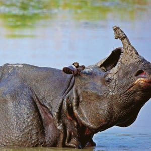 Jaagir Lodge Safari ab Lucknow: One horned rhino