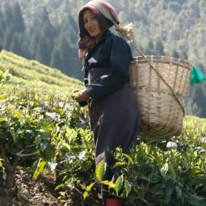 Glenburn Tea Estate à Darjeeling: Glenburn Tea Estate Tea Picker