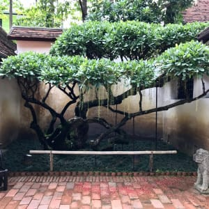 Rachamankha in Chiang Mai: oldest tree