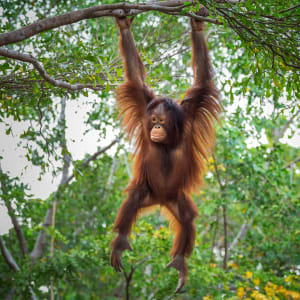 Borneo Wildlife / Tabin Wildlife Reserve ab Kota Kinabalu: Orang Utan