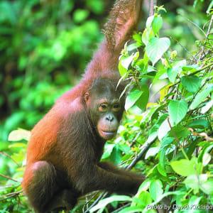 Höhepunkte Borneos ab Kuching: Orang Utan
