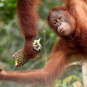 Les hauts lieux de Bornéo option longhouse de Kuching: Orang Utan at Semenggoh