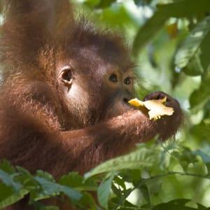 Vie sauvage de Bornéo / Borneo Rainforest Lodge de Kota Kinabalu: Orang Utan Baby