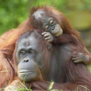 Natur pur in Sarawak ab Kuching: Orang Utans
