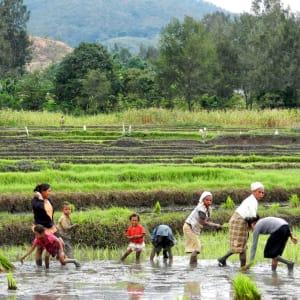 Unbekanntes Paradies Timor-Leste ab Dili: Paddy fields between Aileu + Maubisse