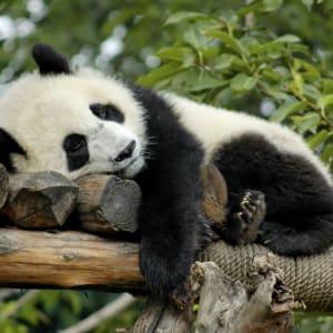 Avec le train du Tibet sur le toit du monde de Pékin: Panda