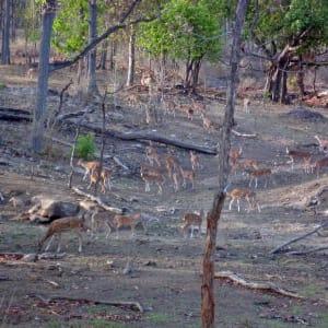 Taj Mahal & Tiger Safaris ab Delhi: Pench National Park: spotted deers