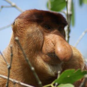 Natur pur in Sarawak ab Kuching: Proboscis Monkey