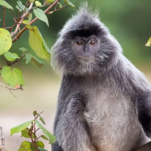 Natur pur in Sarawak ab Kuching: Silvered leaf monkey Bako National Park