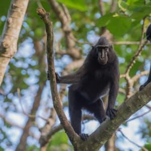 Sulawesi-Torajaland Rundreise ab Makassar: Sulawesi Macaque Ape