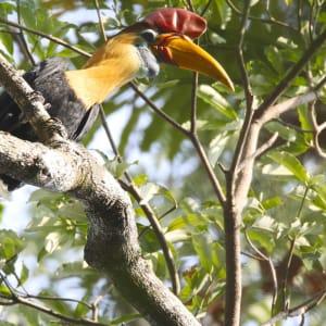 Sulawesi-Torajaland Rundreise ab Makassar: Sulawesi Tangkoko National Park Knobbed hornbill