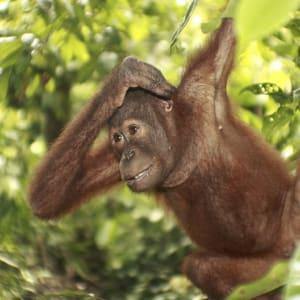 Les orangs-outans à Bohorok de Medan: Sumatra Bohorok Orang Utans
