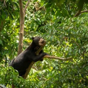 Borneo Wildlife / Tabin Wildlife Reserve ab Kota Kinabalu: Sun Bear