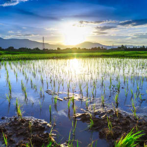 Mietwagenrundreise Mae Hong Son ab Chiang Mai: Sunset over ricefield