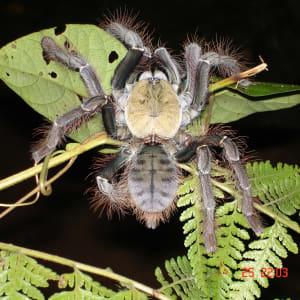 Taman Negara Nationalpark ab Kuala Lumpur: Taman Negara: Bird Eating Spider