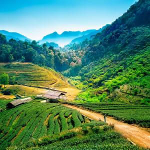 Mietwagenrundreise Goldenes Dreieck ab Chiang Mai: Tea plantations on Angkhang mountain in Chiang Mai