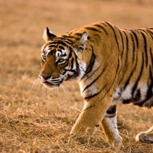 «The Deccan Odyssey» - Im Land der Könige ab Delhi: Tiger