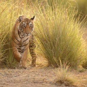 «The Deccan Odyssey» - L'éclat du Rajasthan de Mumbai: Tiger in Ranthambhore National Park