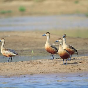 Jaagir Lodge Safari ab Lucknow: Whistling Teal