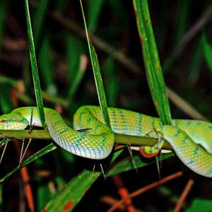 Sarawak – la nature dans toute sa splendeur de Kuching: White-lipped pitviper, Bako National Park