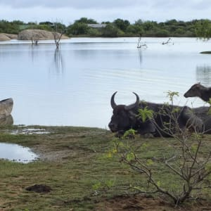 Sri Lanka für Geniesser ab Colombo: Yala National Park: Buffalos