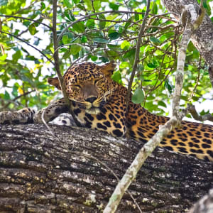 Safari dans le parc national de Yala - Chena Huts - 3 jours de Colombo: Yala National Park: Leopard - Panthera Pardus Kotiya