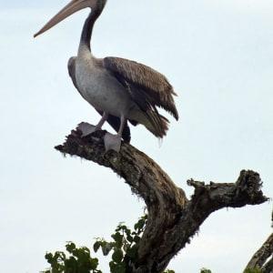 Le Sri Lanka pour les fins connaisseurs de Colombo: Yala National Park: Pelican