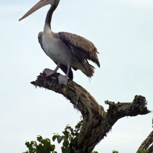 Sri Lanka für Geniesser ab Colombo: Yala National Park: Pelican