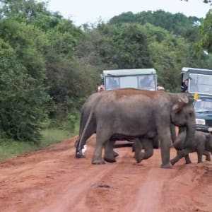 Yala Nationalpark Safari - Chena Huts - 3 Tage ab Colombo: Yala National Park: wild elephants cross the road