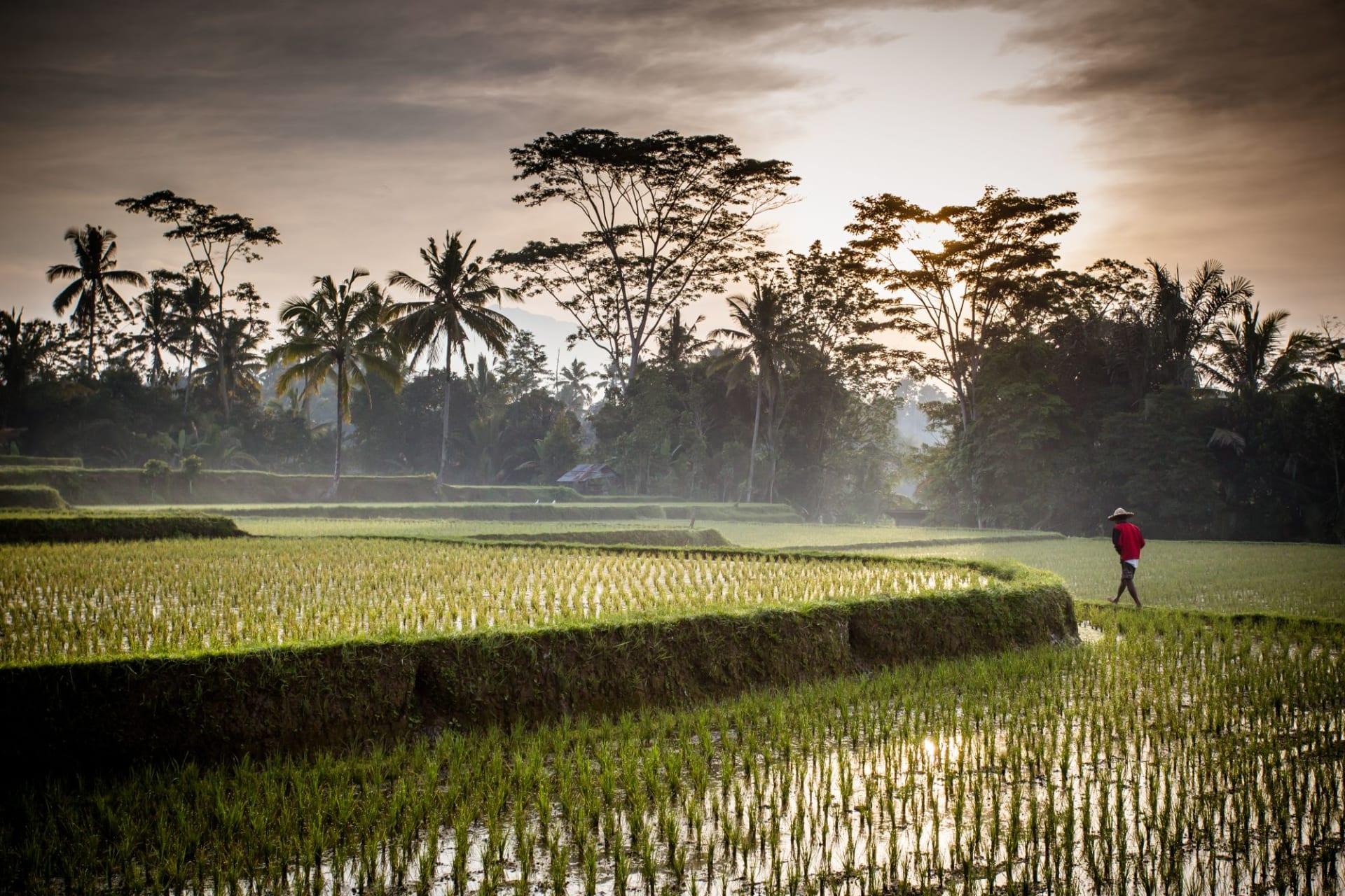 Bali Ubud Rice field