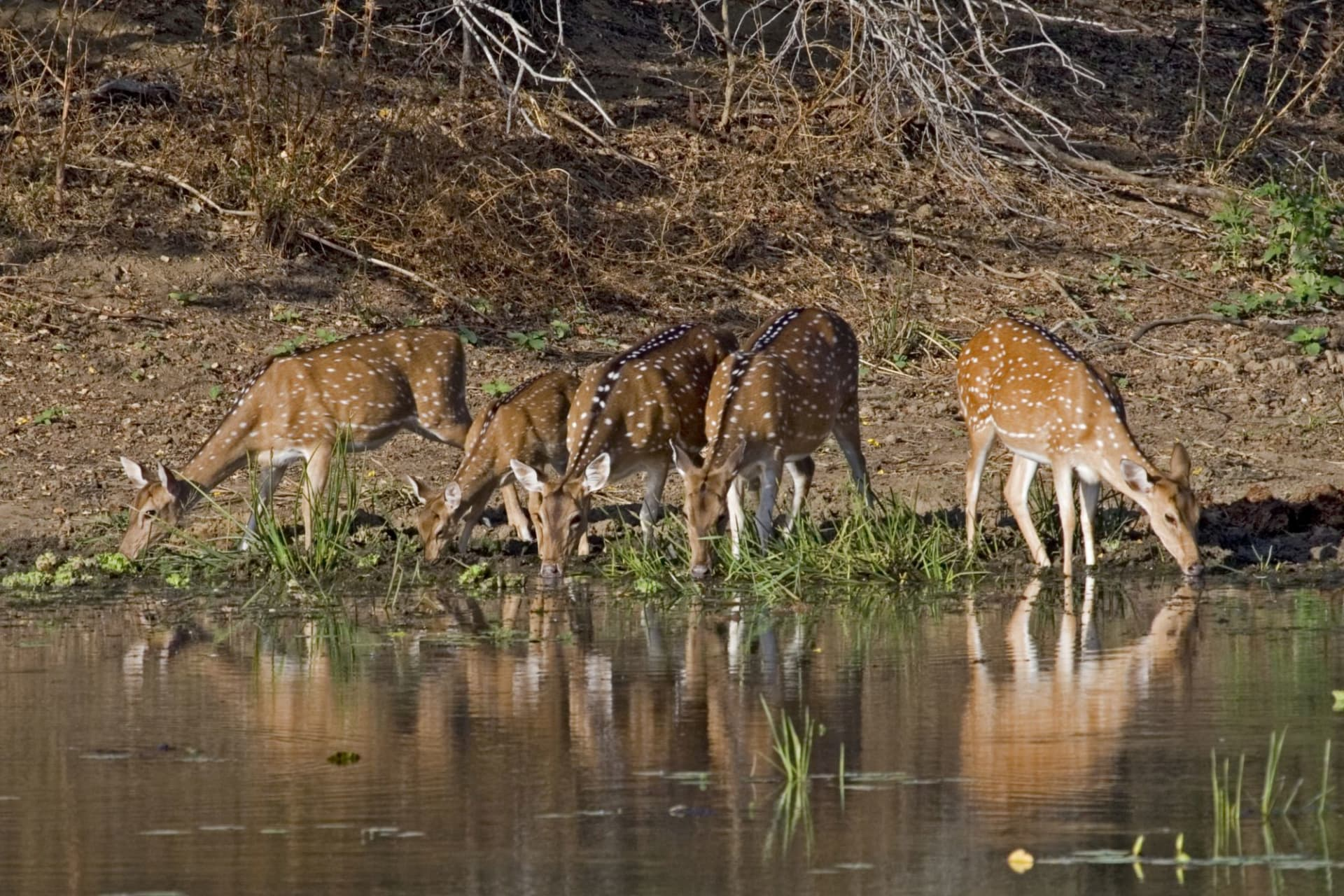 Kanha National Park: Spotted Deers