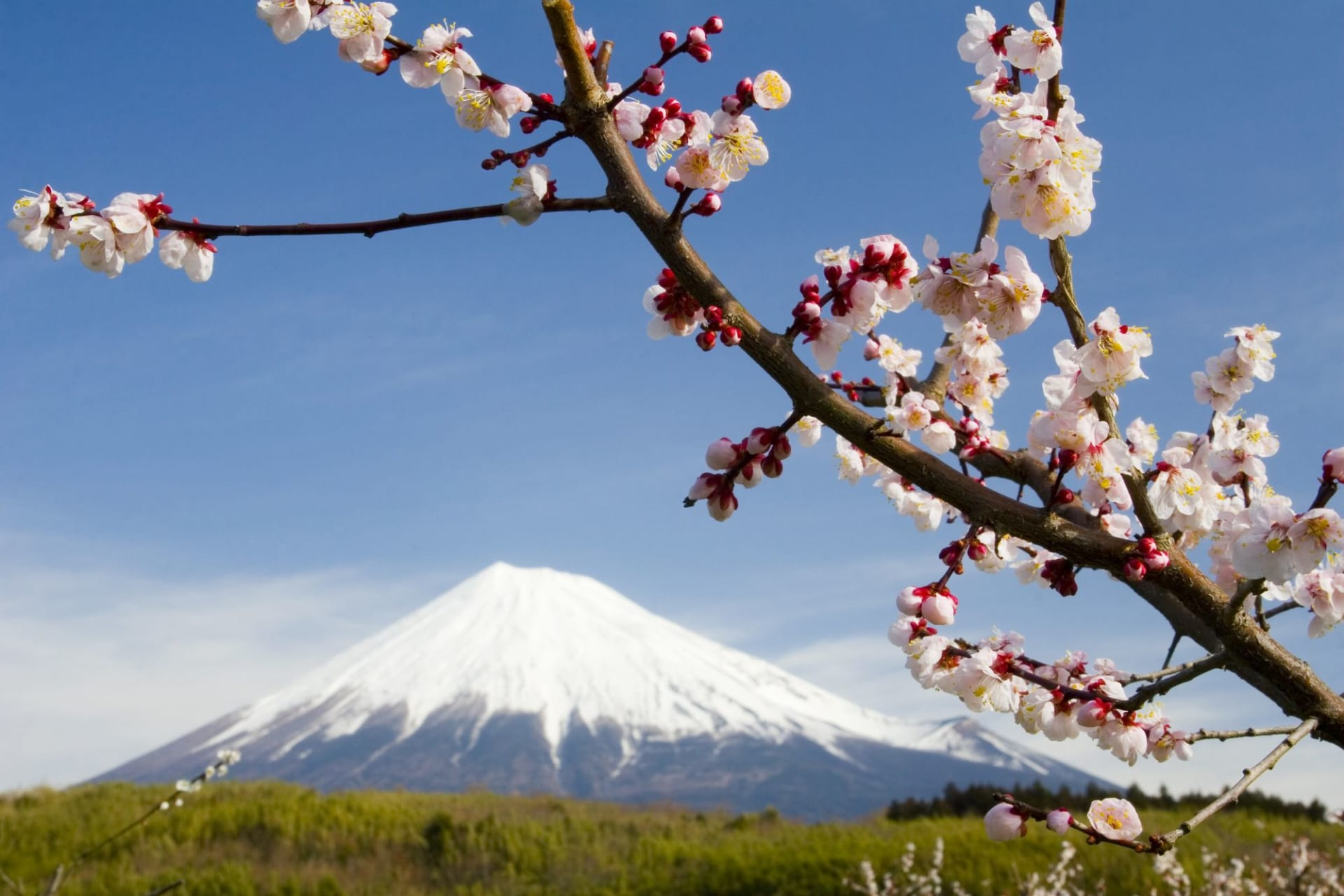 Mt. Fuji & Kirschblüten
