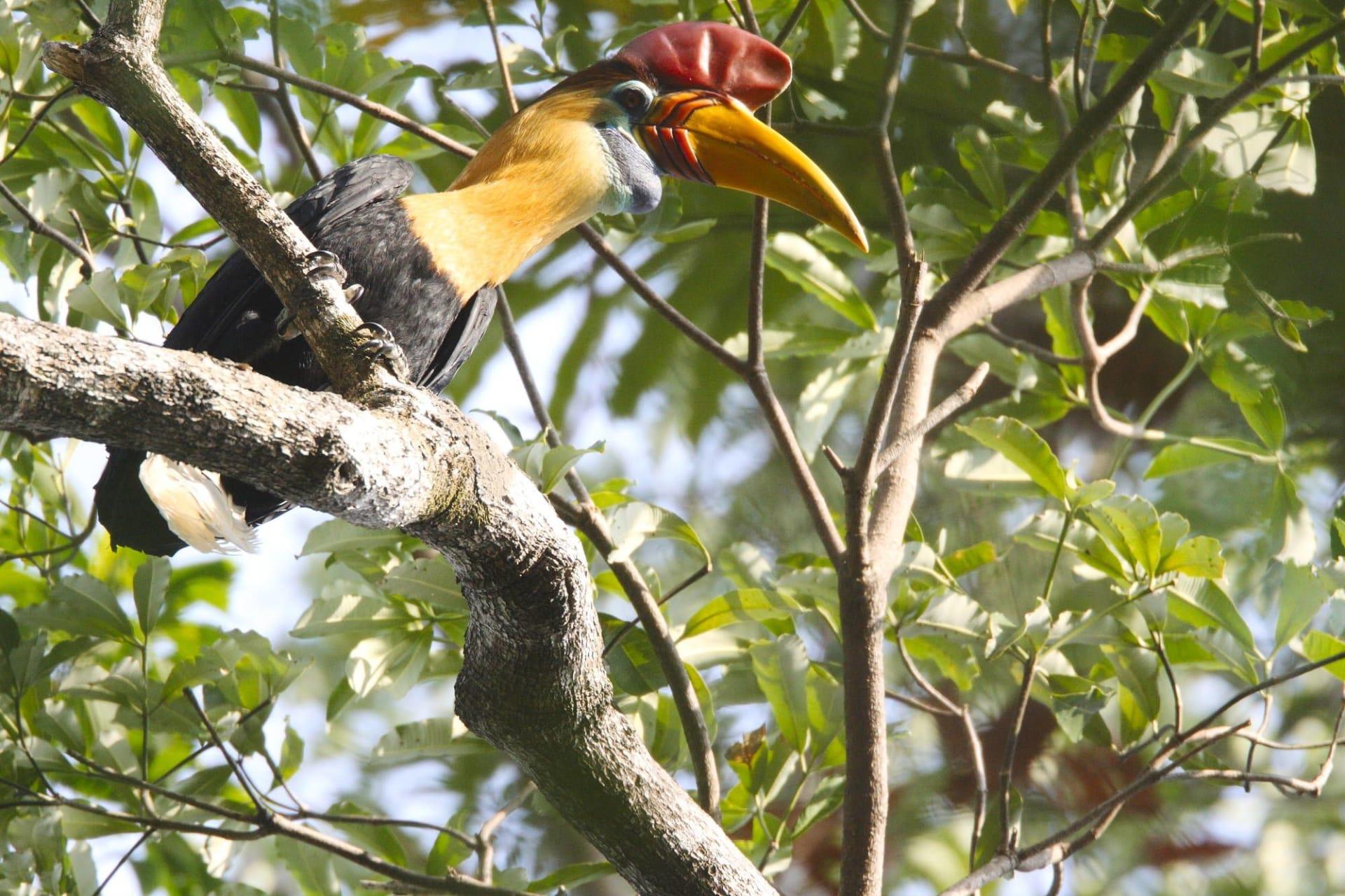 Sulawesi Tangkoko National Park Knobbed hornbill