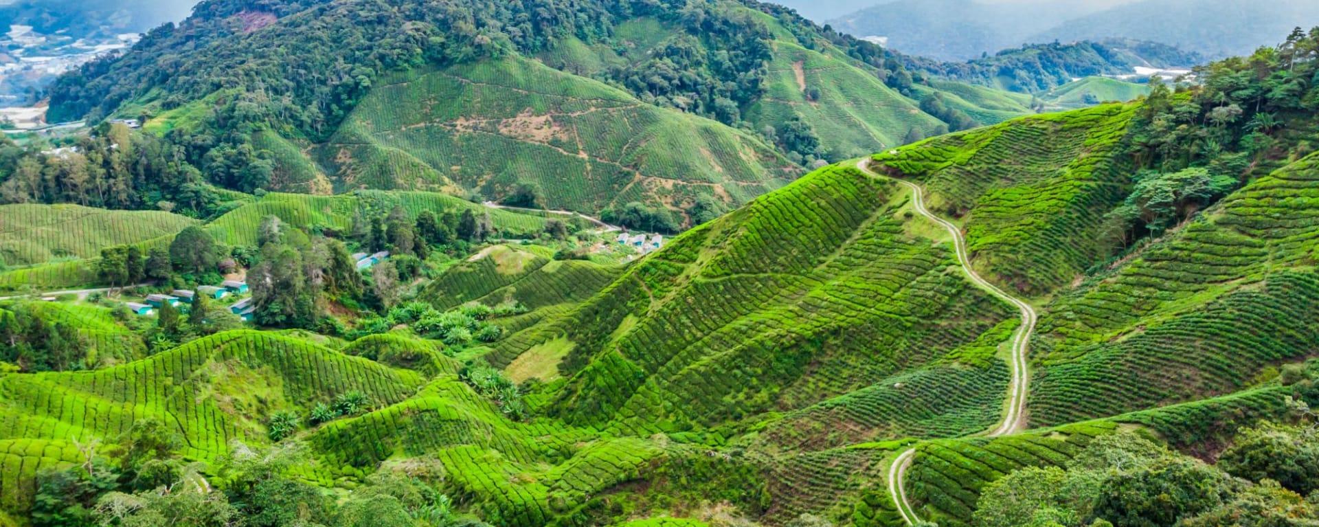 Malaisie authentique de Kuala Lumpur: Cameron Highlands Tea Plantations