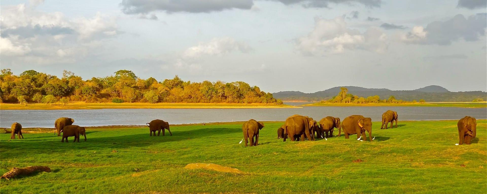 Les hauts lieux du Sri Lanka de Colombo: Minneriya National Park