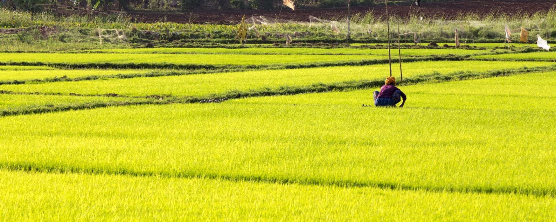 Le Myanmar authentique de Yangon: Sagar Lake Ricefield with Woman