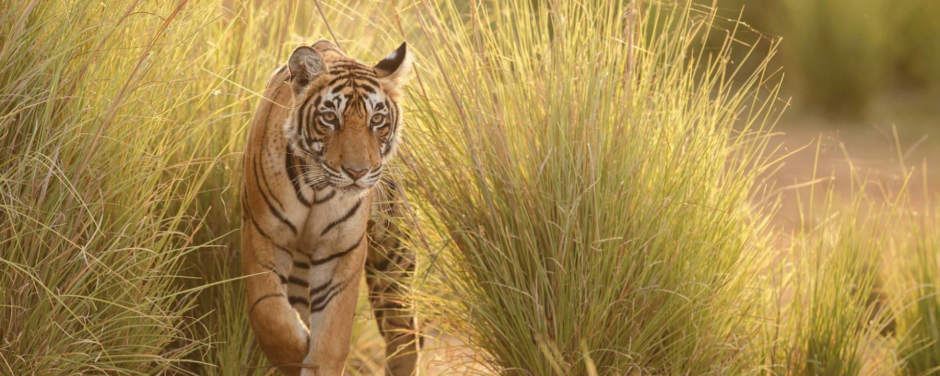 Aman Geniesser-Reise ab Jaipur: Tiger in Ranthambhore National Park