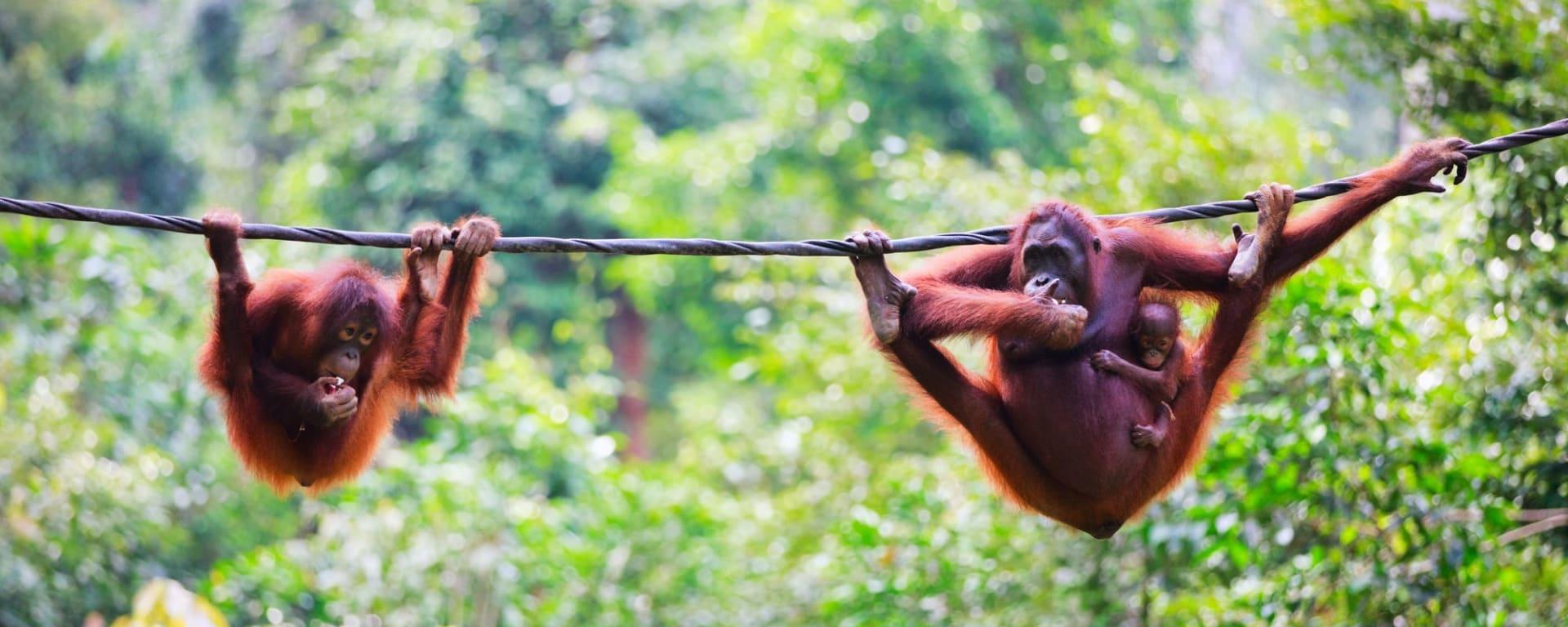 Tout savoir sur les voyages et les vacances á Bornéo: Orang Utans