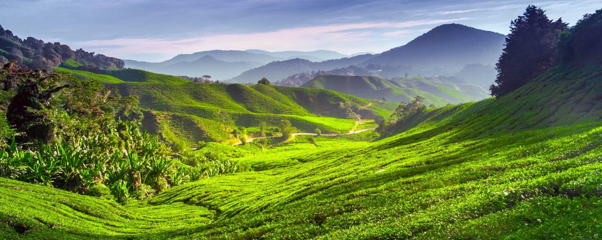 Wissenswertes zu Malaysia Reisen und Ferien: Malaysia Cameron Highlands Tea plantation