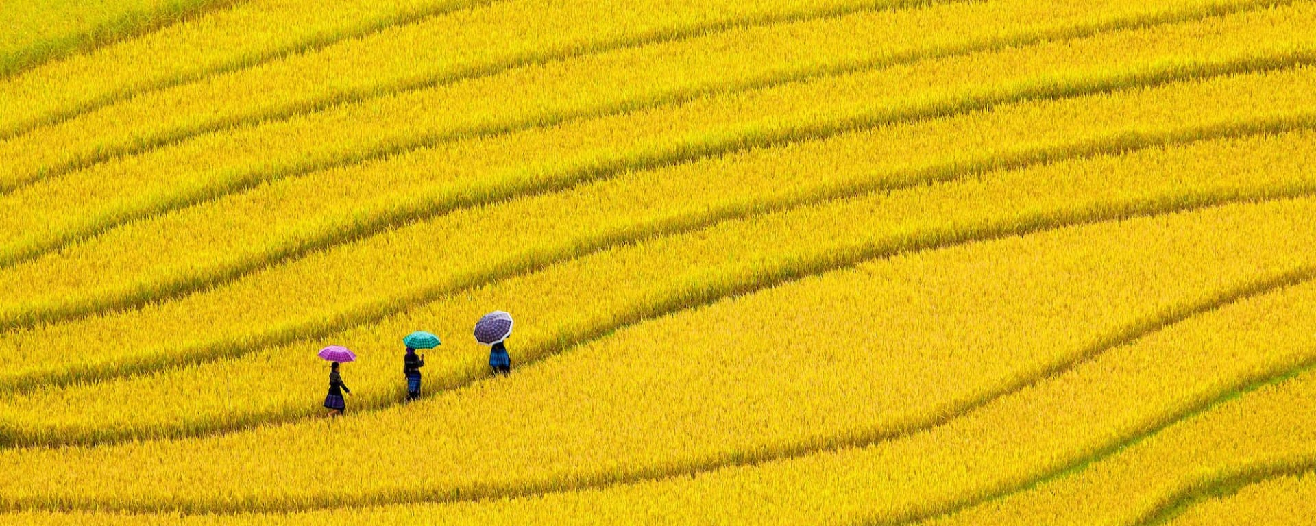 Wissenswertes zu Vietnam Reisen und Ferien: 3 people walking in a yellow rice field