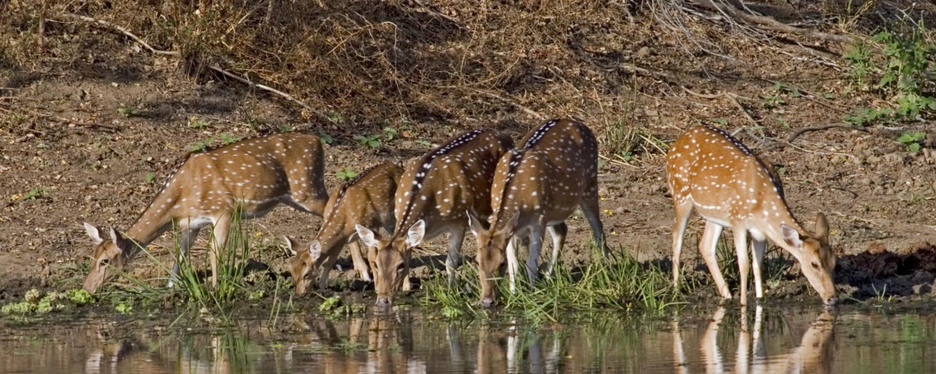 Taj Mahal & Tiger Safaris ab Delhi: Kanha National Park: Spotted Deers
