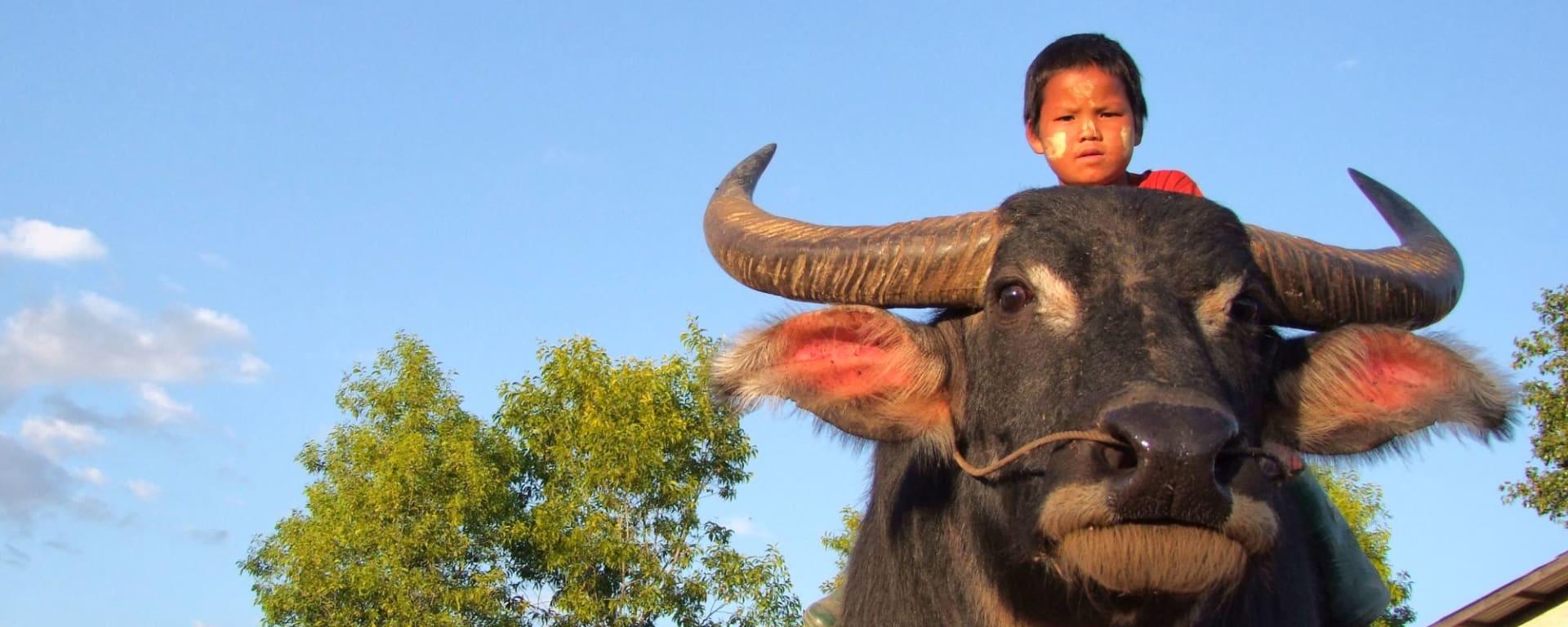 Randonnées dans le pittoresque Etat Shan (3 jours) de Lac Inle: Boy riding a buffalo