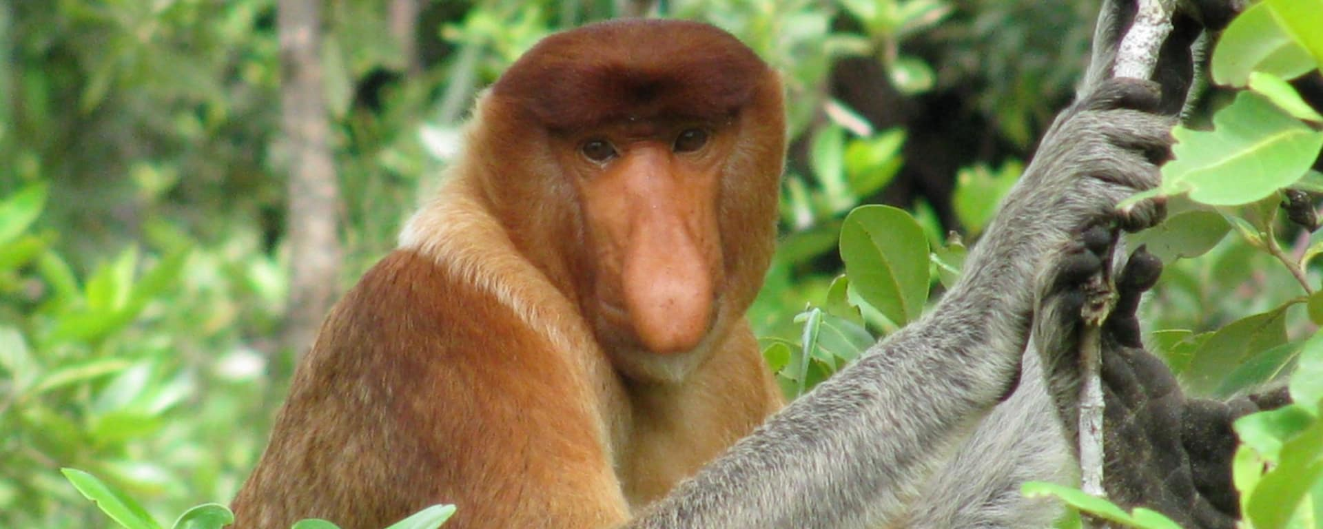 Parc national de Bako à Kuching: Proboscis Monkey