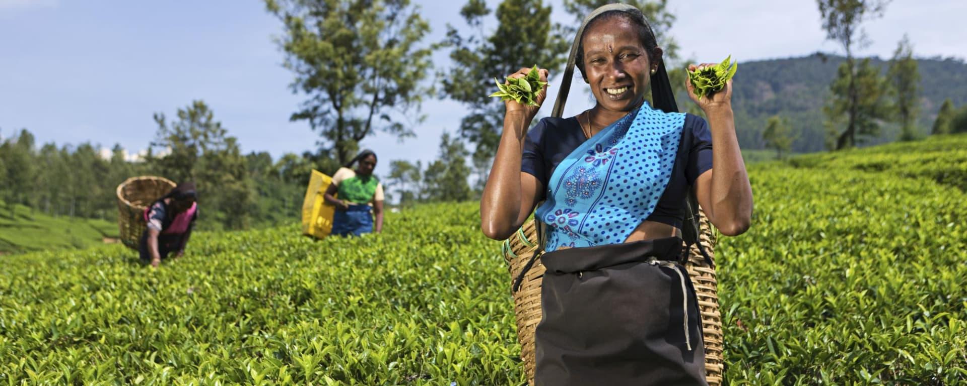 Wissenswertes zu Sri Lanka Reisen und Ferien: Nuwara Eliya Tea plucking women