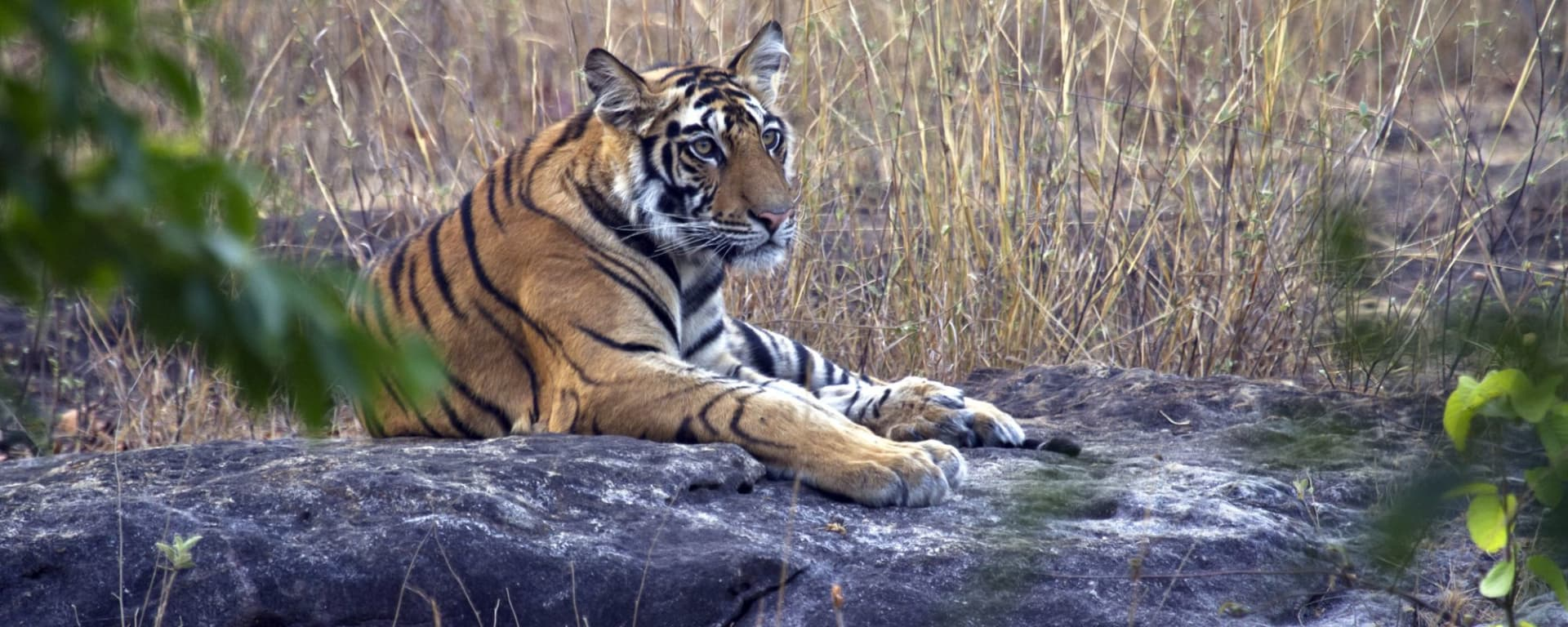 Taj Mahal & Tiger Safaris ab Delhi: Tiger Bandhavgarh NP