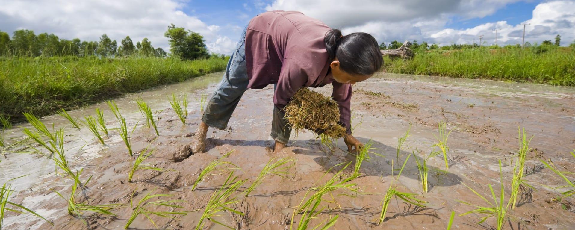 I-San - le trésor caché / BKK-Siem Reap de Bangkok: I-San: farmer planting rice