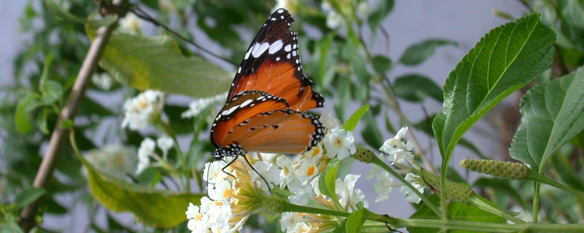 Ursprüngliches Bali inkl. Schmetterlingspark in Südbali: butterfly4