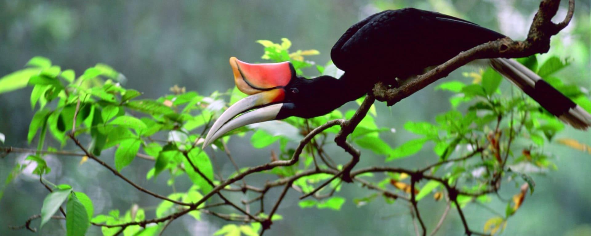 Natur pur in Sarawak ab Kuching: Hornbill