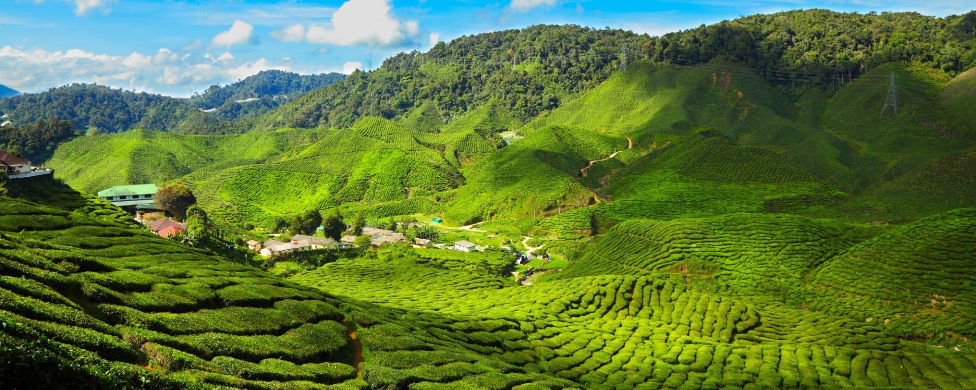 Höhepunkte Malaysias ab Kuala Lumpur: Malaysia Cameron Highlands Tea Plantations